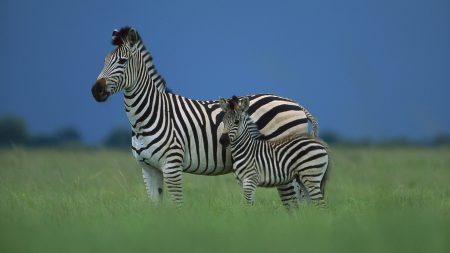 zebra, family, striped