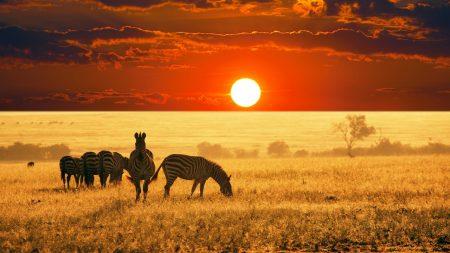 zebras, sunset, field