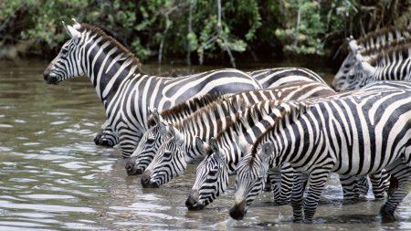zebras, water, drink