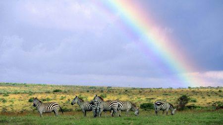 zebras, wild nature, rainbow