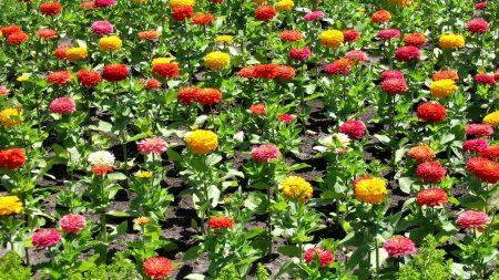 zinnia, flower, flowerbed