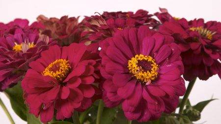 zinnias, flowers, bouquet
