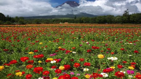 zinnias, flowers, field