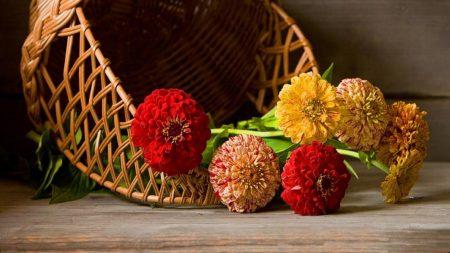 zinnias, flowers, lie